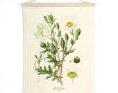 Pull Down Chart - Botanical White Mexican Poppy Reproduction Print. Vintage Science Plate Print Edcuational Diagram Flower - CP204CV