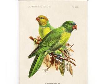 Pull Down Chart - Parakeet Vintage Bird Illustration Poster Vintage Reproduction - Max Weber Birds Zoology Austin Biology Green CP279cv