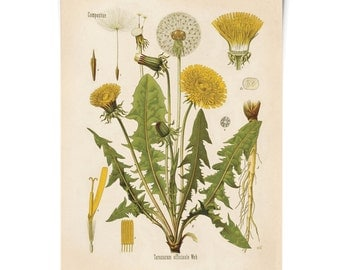 Dandelion Flower Print - Vintage Reproduction Poster Botanical Taraxacum officinale. Educational Chart Diagram from Kohler's - CP227