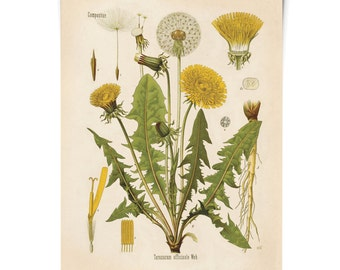Dandelion Botanical Poster - Vintage Reproduction Print Botanical Taraxacum officinale. Educational Chart Diagram from Kohler's - CP227