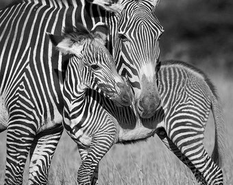 Safari Nursery Art, BABY ZEBRA and MOM Photo, Black and White Print, Baby Animal Photography, African Wildlife Photography, Safari Nursery