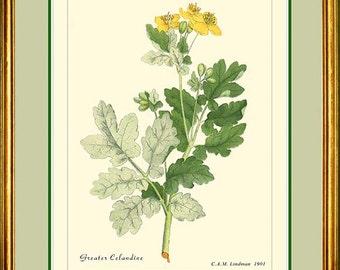 GREATER CELANDINE - Vintage Botanical print reproduction 184