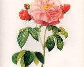 Pink Orleans Rose art print vintage antique wall art pink flower art print Victorian art print antique rose art French rose print prints 46