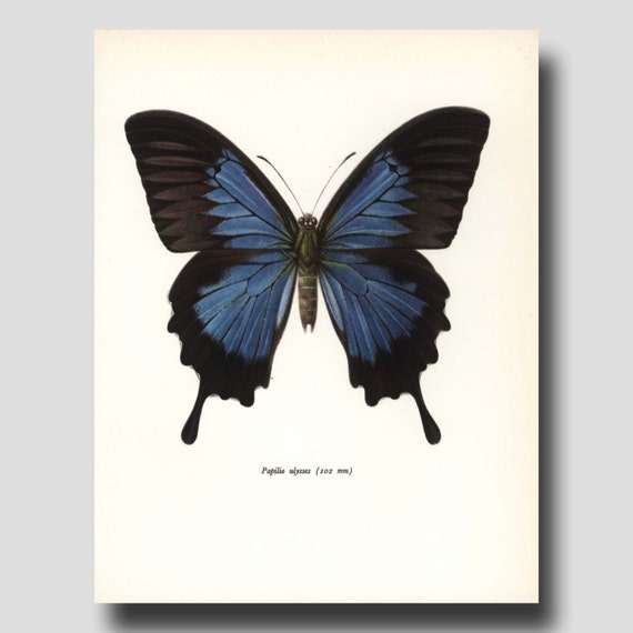 "Butterfly Art (Indigo Blue Butterfly Illustration, Blue Home Decor) Vintage Butterfly Print ""Blue Mountain Butterfly"" No. 74-1"