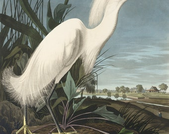John James Audubon Reproductions - Snowy Egret (Snowy Heron), 1827-1835. Fine Art Print.