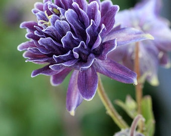 Double Bloom Purple Columbine Seeds - Perennial