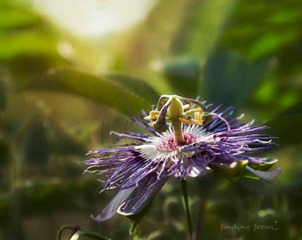 Passion Flower Photo, Violet Purple Passionflower, Passiflora Flowering Vine Floral Photography, Unique Bloom Purple & Green Fine Art Print