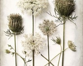 Queen Annes Lace, Flower Print, Cottage Chic, Fine Art Photography, Botanical Print, Wildflower, Flower Study, Nature Print