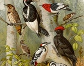 1900 Antique fine lithograph of WOODPECKERS BIRDS, different species. Colorful Birds. 116 years old nice print