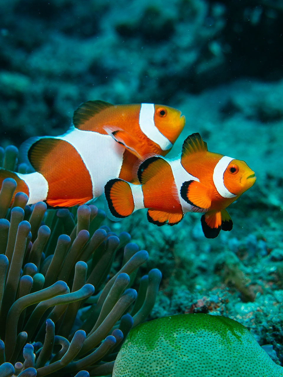 Orange clown fish and coral reef 8x12 inch x for Clown fish size