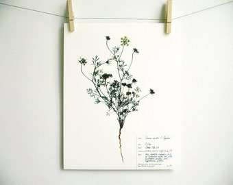 Queen Anne's Lace Print, #54, herbarium specimen art print pressed botanical print scientific wall art plant with roots botanical with label