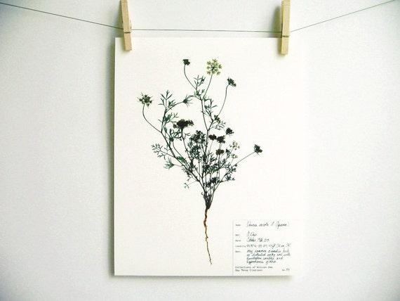 queen anne lace drucken 54 herbarium probe kunstdruck. Black Bedroom Furniture Sets. Home Design Ideas