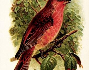 Scarlet Rose Finch - Late 1800s Vintage Illustration