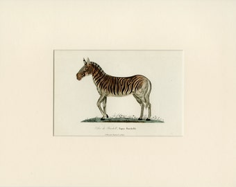 1838 Matted Antique Zebra Print Hand Colored Engraving -  African Animal, Natural History, Christmas Gift 11x14""