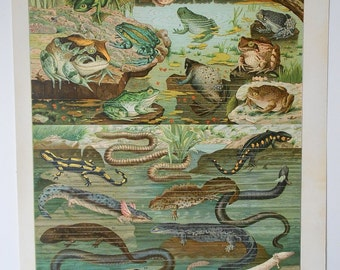 1900 Antique fine lithograph of BATRACHIAN. Frog, Salamander, Triton... 115 years old nice print.