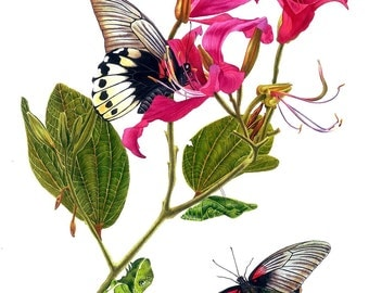 Orchid Tree and the Great Mormon, Giclee Art Print, limited edition, botanical art, botanical painting, butterfly, esperoart