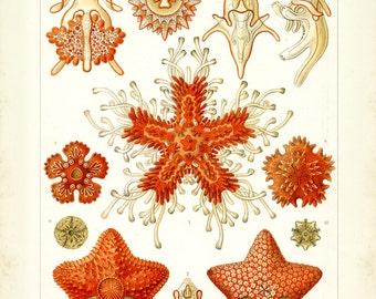 Ernst Haeckel, Starfish Drawing, Drawing Starfish, Ernst Haeckel Starfish, Ernst Haeckel Drawing, Haeckel Ernst, Haeckel Drawing, Coral, Art