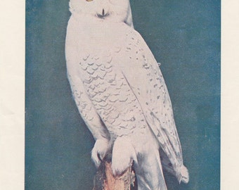 Snowy Owl Antique Vintage Print Hedwig Harry Potter