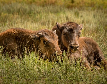 Calves Baby Buffalo Young Bison Range Western Rustic Colorado Cabin Lodge Photograph