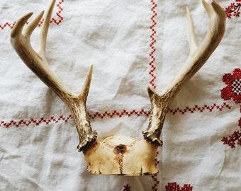 Real Deer Antlers and Skull Plate,4 Point Antlers, Deer Bones, Vintage Authentic Animal Antlers