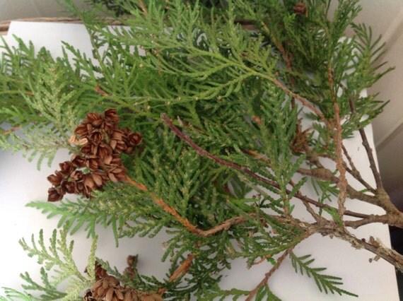 50 Fresh Cedar Branches Christmas Decorations Holiday