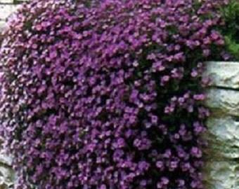 Rock Cress Seeds Cascading Purple 100 Aubrieta Seeds (PERENNIAL)