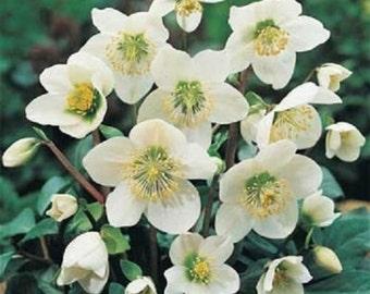 25 Seeds Christmas Rose Helleborus