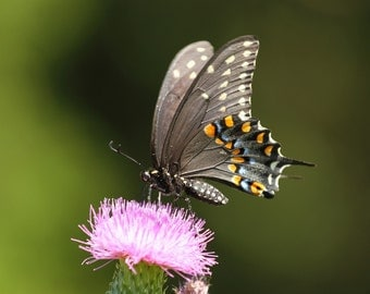 Black Swallowtail, butterfly, butterflies, insects, nature photography, photo, print, photography, wall art, home decor, free shipping