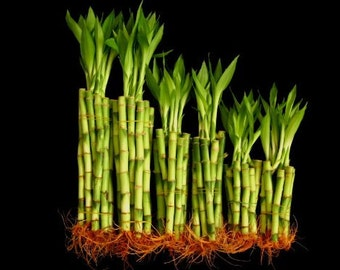"""60 Stalks of Straight Lucky Bamboo (20x4"""", 20x6"""" and 20x8"""") (FREE SHIPPING)"""