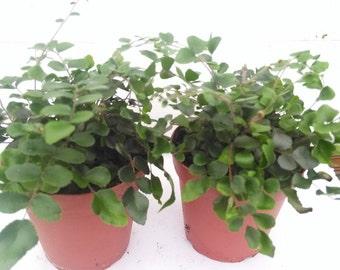 "Two Button Fern - Pellaea - Easy to Grow 4"" Pot (Free Shipping)"