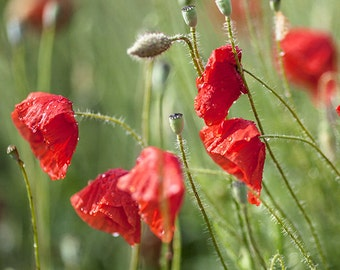 Wild Poppies In the Rain, flower photograph, floral art, nature photography, red, green, botanical wall art, home decor, spring