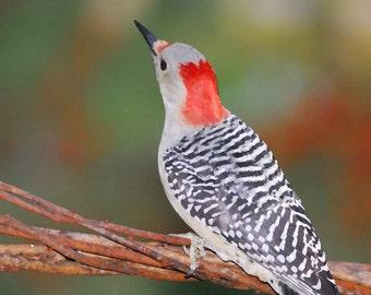 Red-bellied Woodpecker Canvas Gallery Wrap 20x10