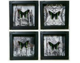Framed real moths butterflies on gothic architecture black and white mounts (medium) Taxidermy Oddities