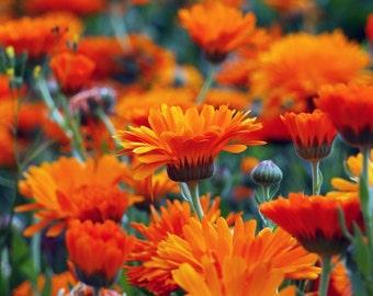 Calendula Fiesta Gitana (150 thru 4800 seeds) edible pot marigold orange #21