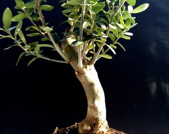 Olive tree - Bonsai - approximately 12 years old