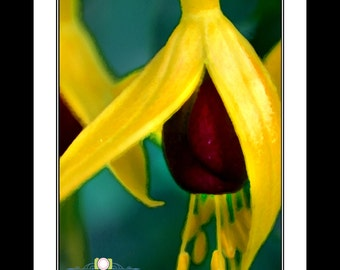Yellow Fuchsia Flower (Print Only)
