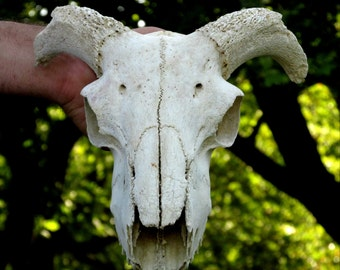 Ram Skull, Real Animal Skull, Taxidermy, Gothic, Pagan, Macabre Art, Skull and Bones, Creepy, Voodoo, Alternative Decor
