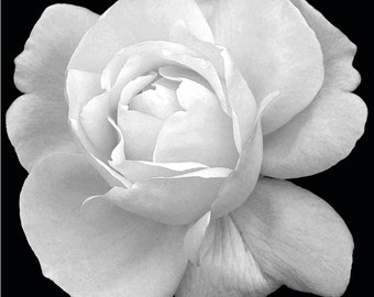 Black and White Rose 2 Wall Art
