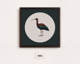 Glossy Ibis (Plegadis falcinellus) - zoological illustration, vintage style, scientific drawing