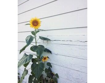 Sunflower No. 3; Garden Wallflower - Macro Botanical Flower Print - FREE SHIPPING