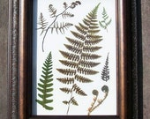 Framed Pressed Ferns, dried ferns, preserved ferns.  Pressed flowers, botanical, wall decor, photo frame, gift.