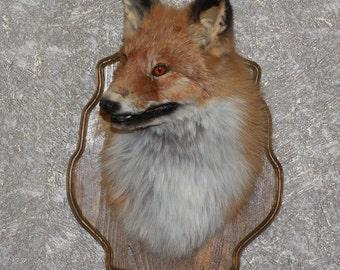 Siberian Red Fox - Taxidermy Head Shoulder Mount, Stuffed Animal For Sale - ST3324