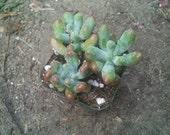 """2"""" Pot Sedum Pachyphyllum - Exotic Succulent Plant"""