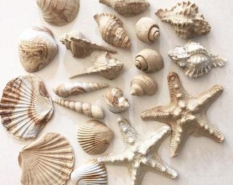Set of 20 edible sea shells.