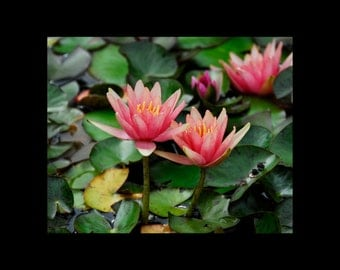 Water Lily Photo // Pink Water Lily Photography // Water Lily Photograph // Water Lily Art Photography // Photography of Water Lilies