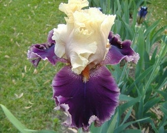 1 Hold My Hand - Bearded Iris