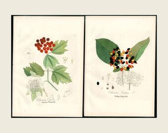 1880 2x Wayfarer Tree etc, Dietrich Forest Flora Hand Color Copper Plate Engraving Authentic Antique Forest Botanical Prints 2 Prints