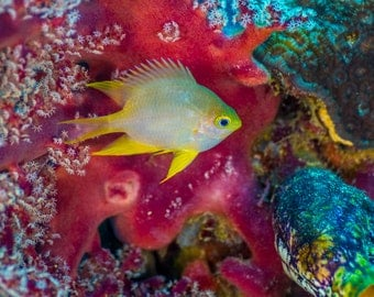 Tropical Photography, Colorful Wall Art, Tropical Fish, Pink Blue Yellow Decor, Under Water Photography