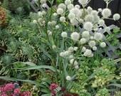 Rattlesnake Master Flower Seeds/Eryngium Yuccifolium/Perennial    40+