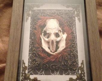 Muskrat skull shadowbox